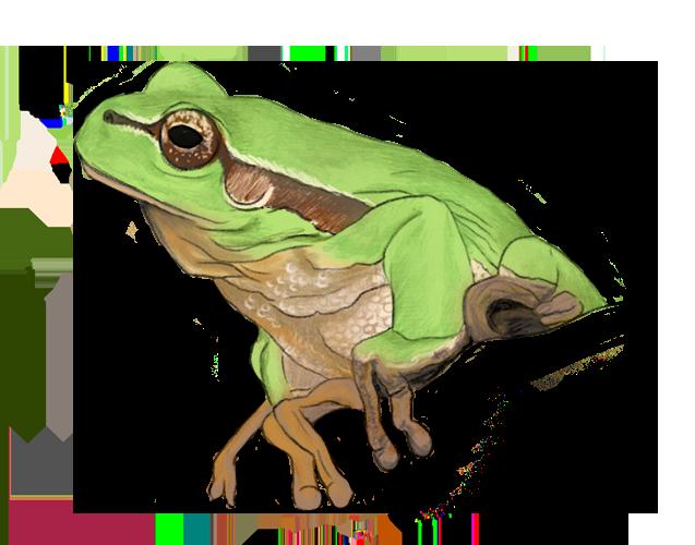 dessin d'une grenouille